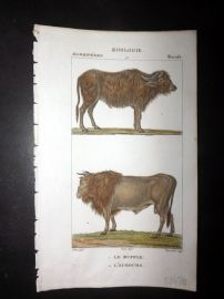 Turpin C1820 Antique Hand Col Print. Buffalo, Bull, Cattle 95